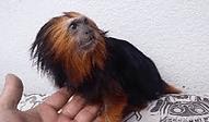 キンクロライオンタマリン | 小動物 | ノーザンみしま
