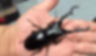 ギラファノコギリクワガタ | 昆虫他 | ノーザンみしま