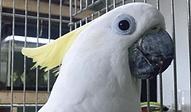 キバタン | 鳥類 | ノーザンみしま
