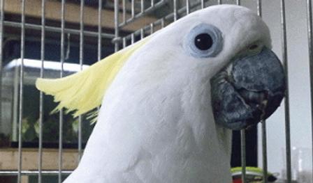 キバタン   鳥類   ノーザンみしま