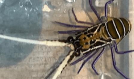 ゴシキエビ | 昆虫他 | ノーザンみしま