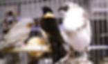 鳳凰雀 | 鳥類 | ノーザンみしま