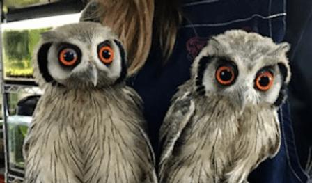 アフリカオオコノハズク | 鳥類 | ノーザンみしま