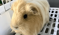 モルモット | 小動物 | ノーザンみしま