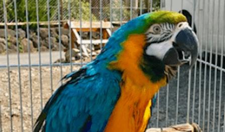 ルリコンゴウインコ   鳥類   ノーザンみしま