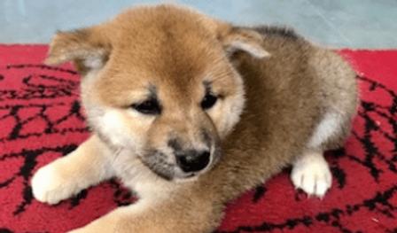 柴犬 | 小動物 | ノーザンみしま
