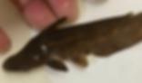 リーフキャット | ナマズ類 | ノーザンみしま