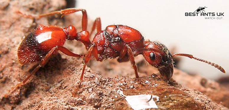 Manica Rubida Queen Ant with eggs and 1-3 workers Live Queen Ant