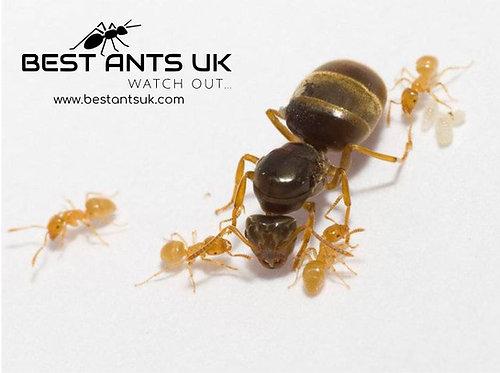 lasius flavus for sale queen ant UK Europe