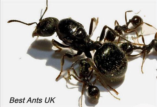 Messor Aciculatus Harvester Queen Ant
