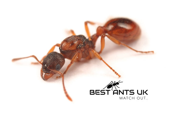 myrmica rubra fire ant