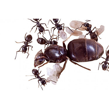 Best Ants UK Live Queen Ant Lasius niger with 10 to 20 workers and brood
