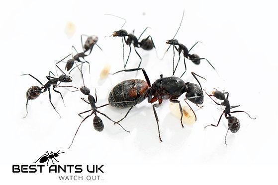 Camponotus Cruentatus Queen Ant with 4-8 workers Live Queen Ant