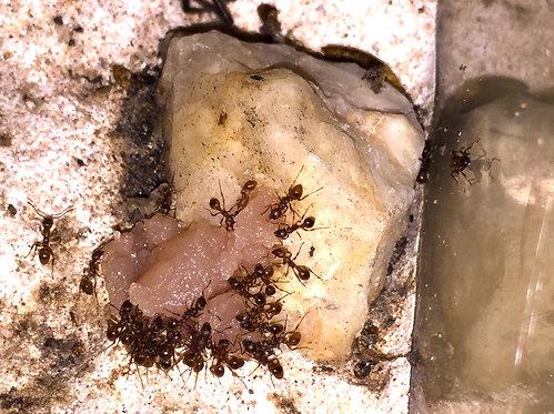 Best Ants UK Ant food