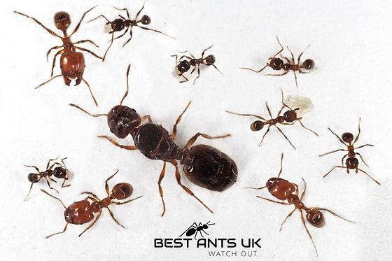 Pheidole Pallidula Queen Ant Colony Live Queen Ant