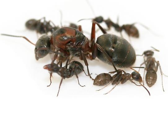 Formica Rufibarbis Queen Ant with 1-2 workers Live Queen Ant