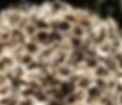 Moringa-Seeds.jpg