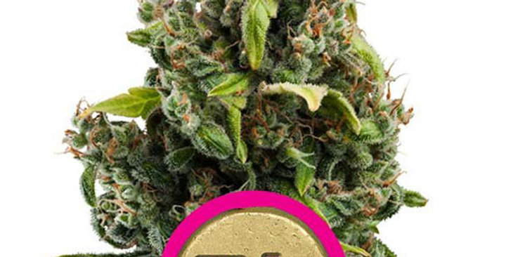 ROYAL QUEEN SEEDS - CANDY KUSH EXPRESS FAST VERSION - 1 FEM