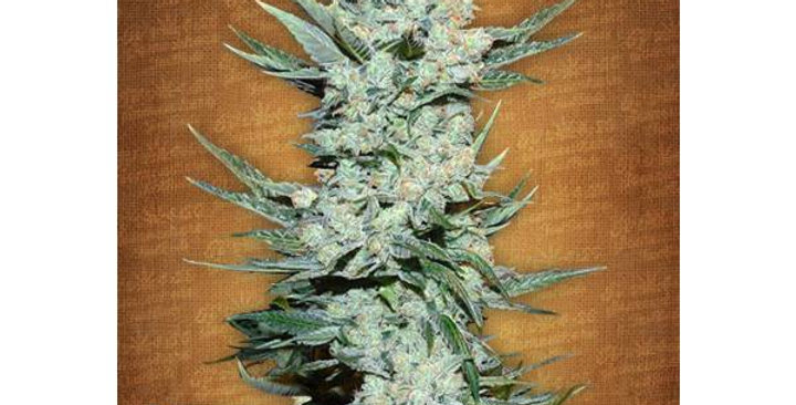 FAST BUDS - TANGIE MATIC - 3 AUTO