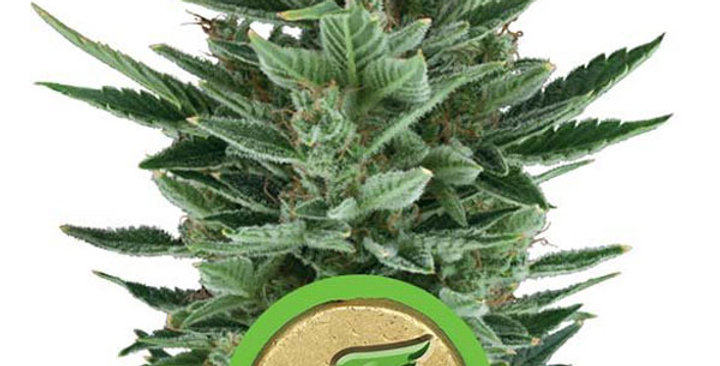 ROYAL QUEEN SEEDS - QUICK ONE AUTO 1 FEM