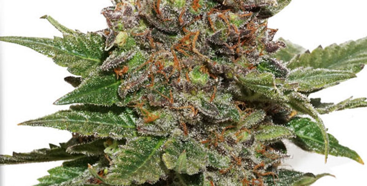 strawberry cough  femm dutch passion 3 semi