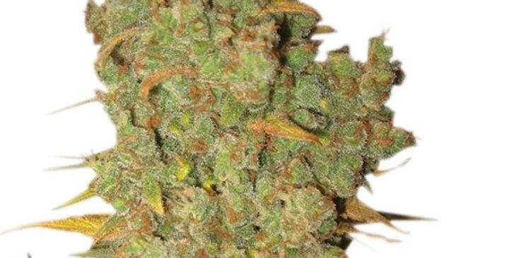 ROYAL QUEEN SEEDS - SPECIAL KUSH #1 - 1 FEM