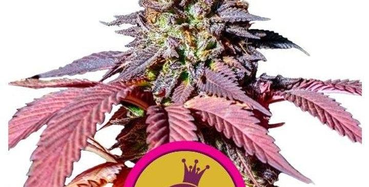 royal queen purple queen femm 3 semi