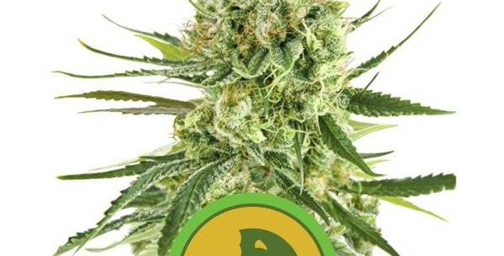 ROYAL QUEEN SEEDS - ROYAL COOKIES AUTOMATIC - 3 AUTO