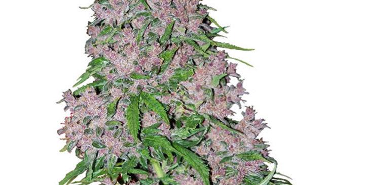 purple bud semi femm white label 3 semi