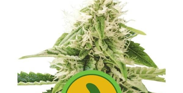ROYAL QUEEN SEEDS - FAT BANANA AUTOMATIC 1 AUTO