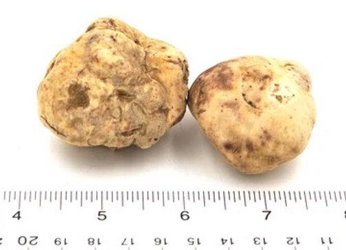 Fresh White Truffle Medium Size