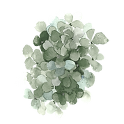 hydrangea3.png
