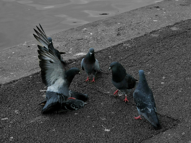 Pigeon Gang at Regent's Park.jpeg