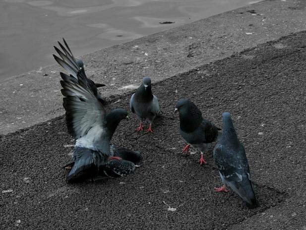 Pigeon Gang at Regent's Park.jpeg