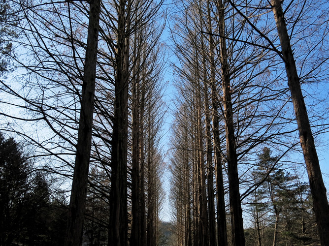 Metasequoia Path Nami Island.jpeg