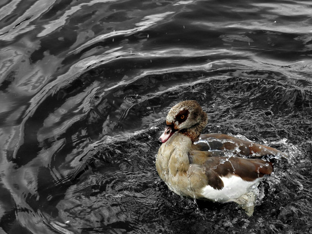 Mandarin Duck Hyde Park London.jpeg