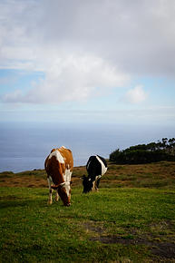 Cows on Rapa Nui
