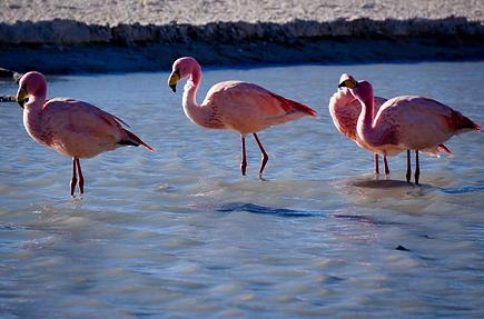 Bolivian Flamingoes