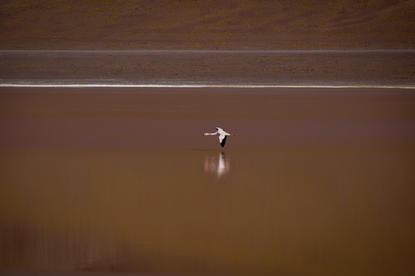 Bolivian Flamingo 2