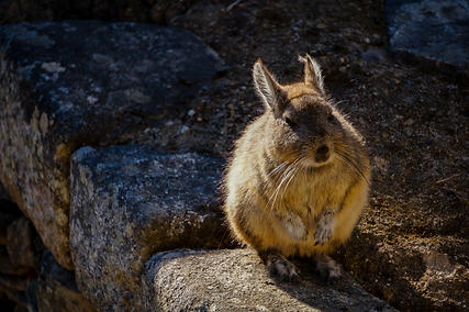 Machu Picchu Marmot