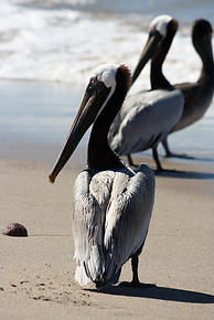 Pelicans of the Pacific