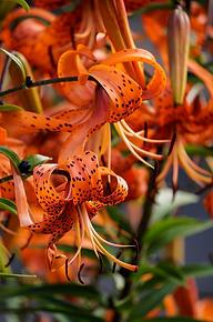 Sask Lilies 2