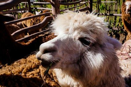 Sacred Valley Llama