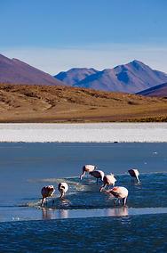 Bolivian Flamingoes 3
