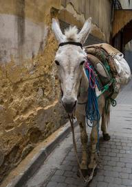 Moroccan Mule
