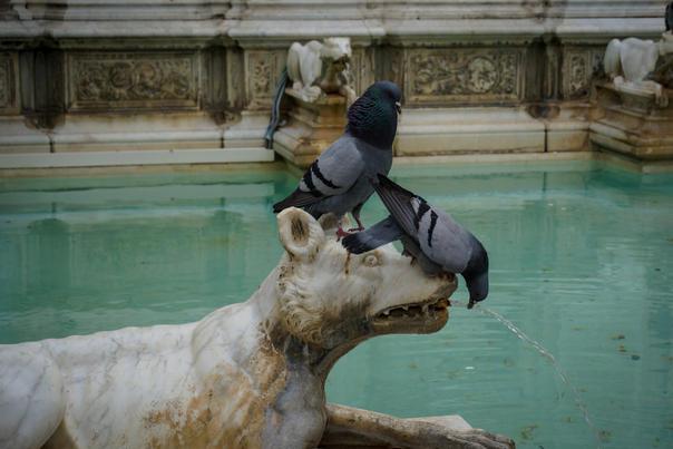 Pigeons of Siena