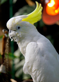 Cockatoo!