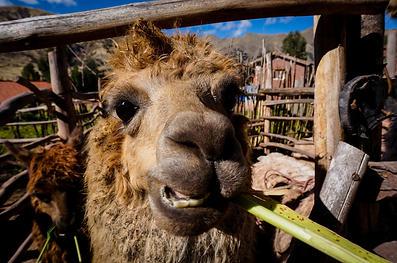 Sacred Valley Llama 2
