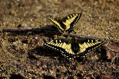 Shore Butterflies