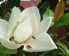 Bees on Magnolia Flower
